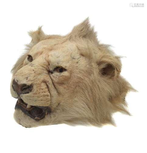 ϒ A preserved lion head, Panthera leo, E. Gerrard & Sons, first quarter 20th century