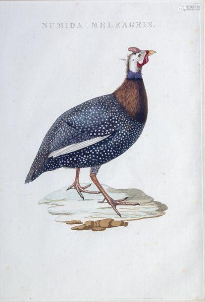 Nozeman's Nederlandsche Vogelen Numida Meleagris